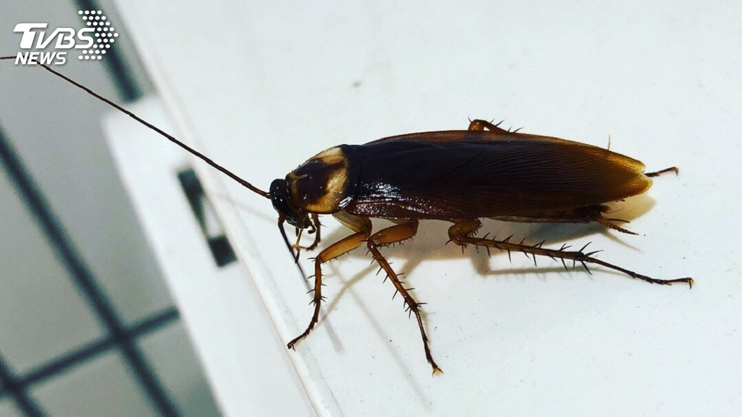 蟑螂有著堅強的生命力,以及超嚇人的繁殖能力。(示意圖/TVBS) 少女出高價求幫殺蟑螂 男生沒人理:會飛的超噁