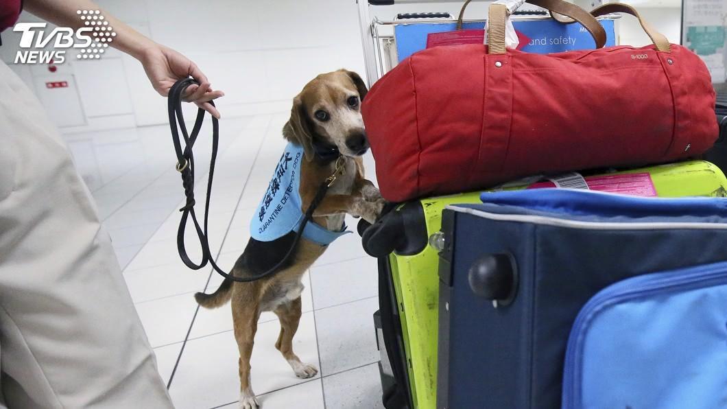 圖/達志影像美聯社 防非洲豬瘟入侵 日本成田機場增派檢疫犬