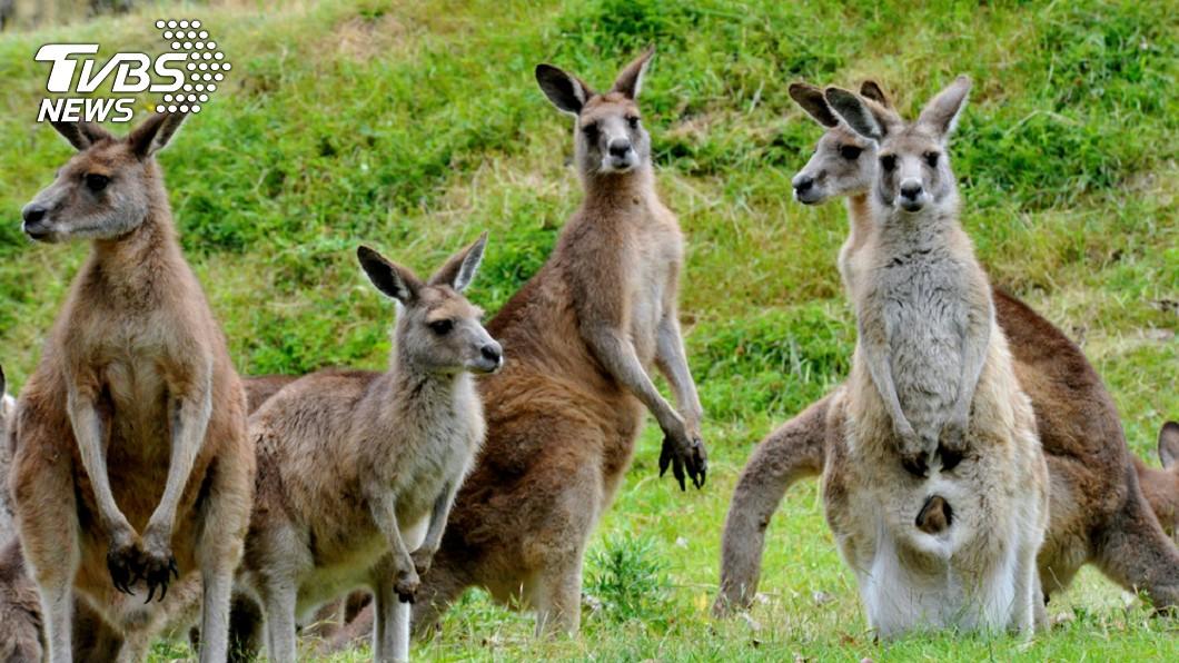 澳洲維多利亞州政府開放獵人捕殺袋鼠。圖/TVBS 澳洲袋鼠爆量 年底前1.4萬隻恐成寵物罐頭