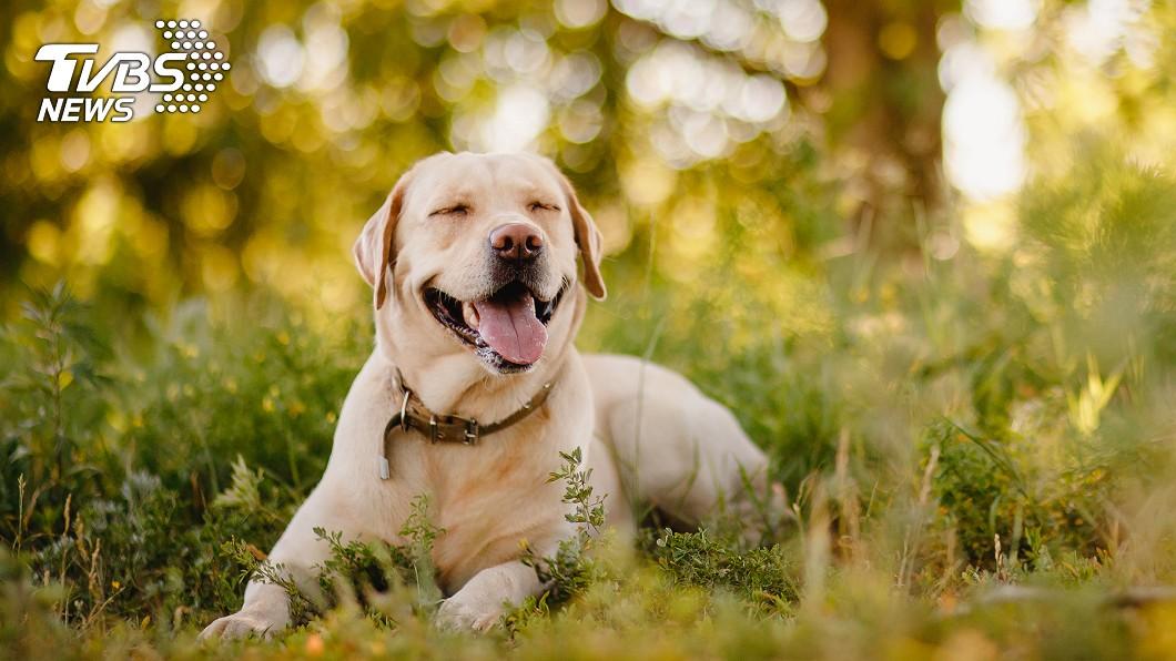 拉不拉多犬示意圖,非茉莉當事狗(圖/TVBS) 腿部中彈急報案  兇手竟是後座的牠