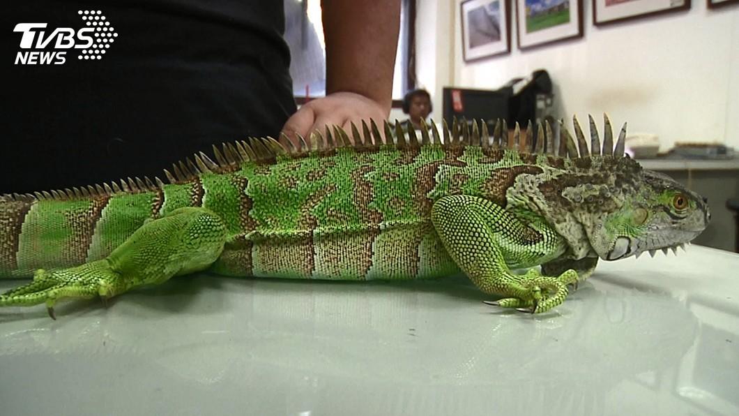 圖/中央社(民眾提供) 綠鬣蜥入侵台東 生態專家:已出現野外族群