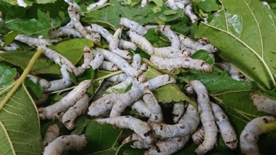 圖/翻攝自 我是双鱼座哦 微博 南韓研究:食用蠶粉有助治療阿茲海默症