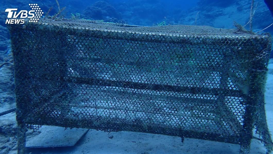 圖/台東縣政府提供 石朗復育50顆硨磲幼貝全失蹤 東縣府籲勿盜採