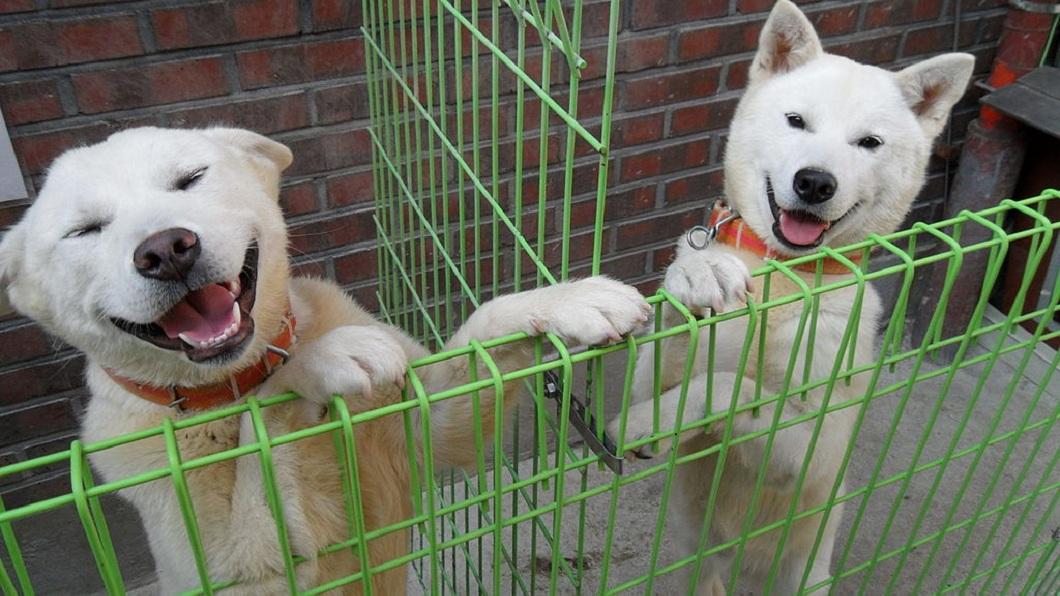 北韓國寶豐山犬數量稀少,在當地屬於保護類動物。(圖/翻攝自維基百科) 北韓國寶「豐山犬」!萌外表卻超兇狠 傳說能打贏老虎