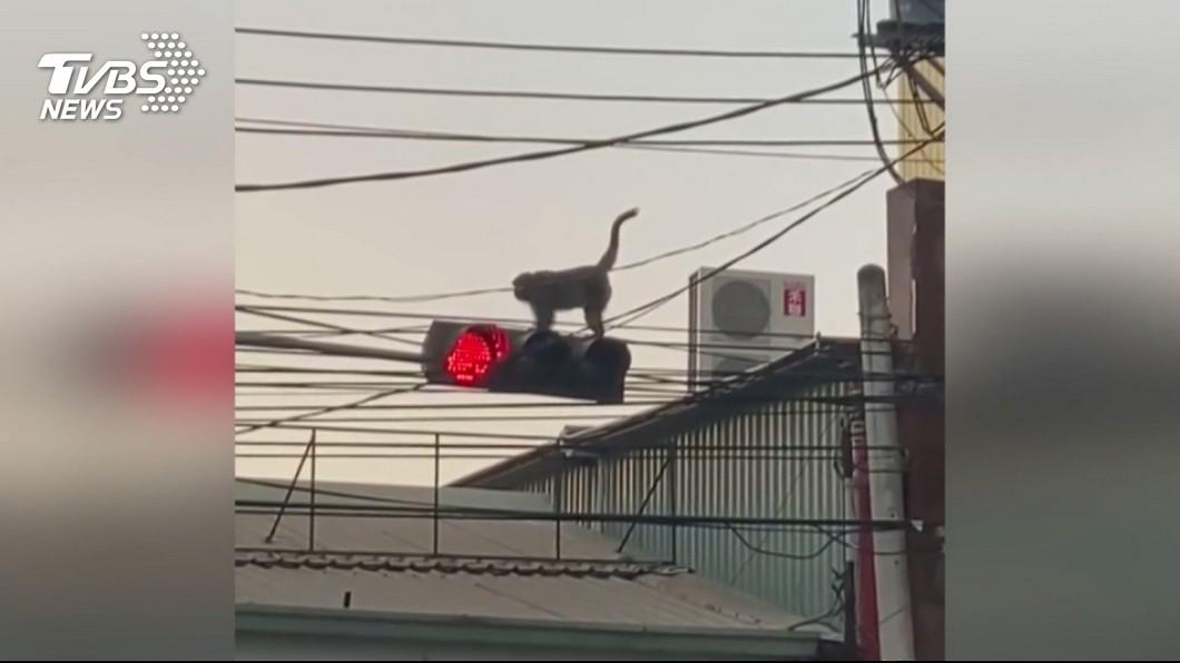 圖/TVBS 「電火猴」逛大街! 記者採訪巧遇驚嚇狂退