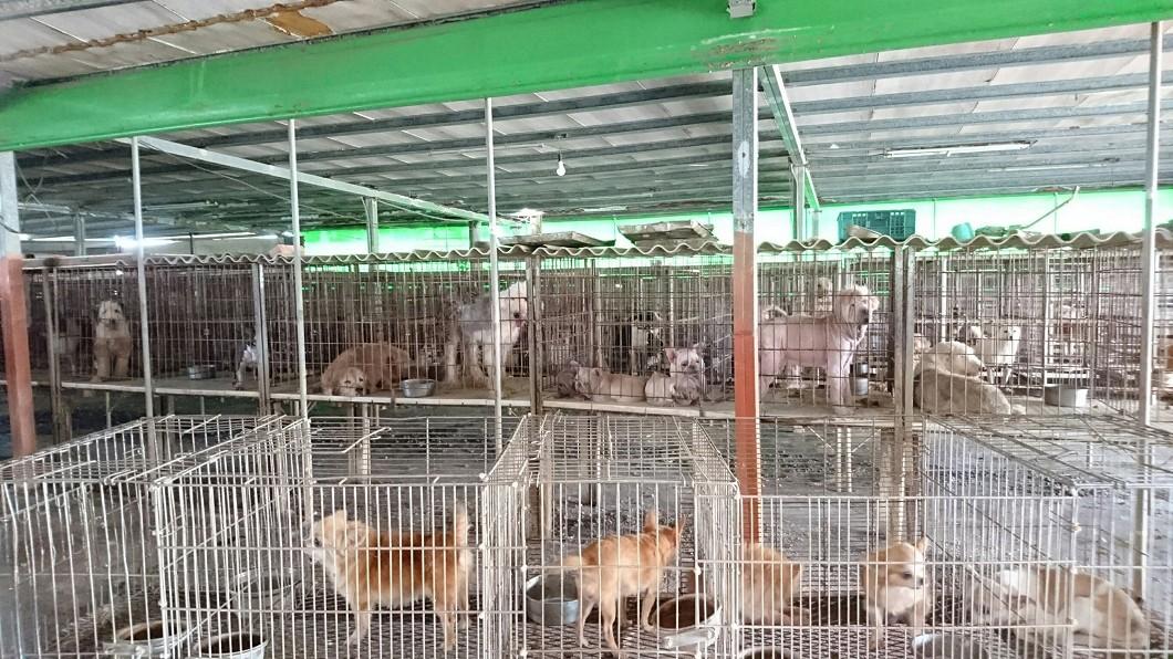 圖/鄭安國提供 雲林縣破獲非法繁殖場 226隻名種犬貓開放認養