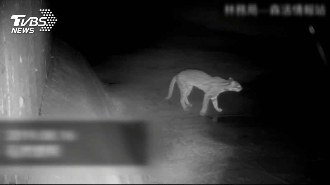 石虎保育雪上加霜… 監測相機遭竊又傳路殺