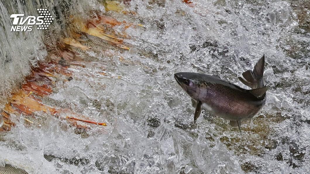 圖/達志影像美聯社 水溫過高加上水壩阻礙 鮭魚洄游產卵好困難