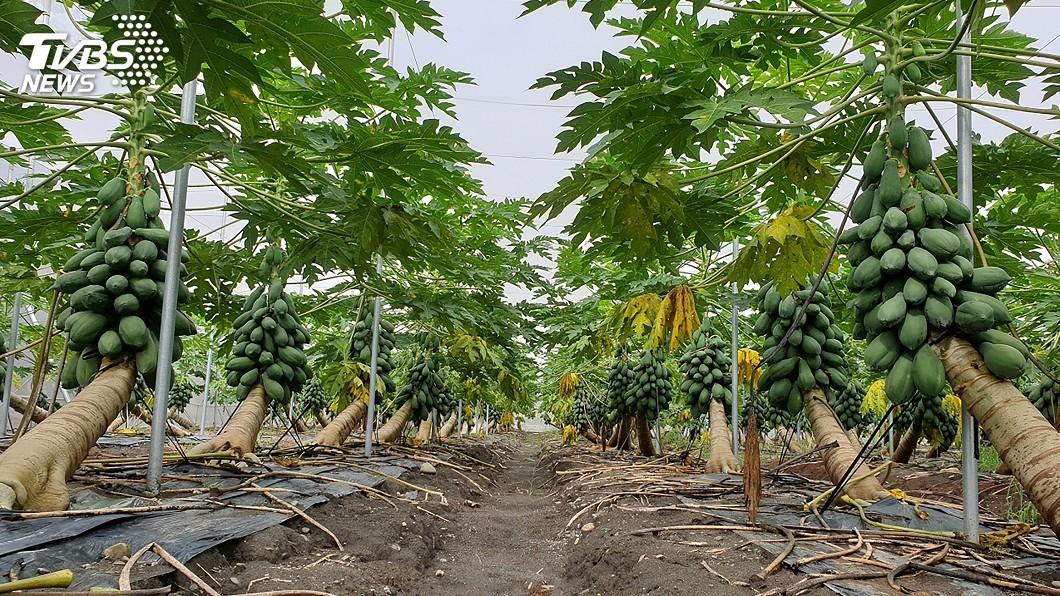 圖/高雄區農改場提供 專家就在身旁 農改場研發智慧化木瓜防災系統