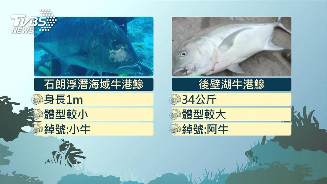 圖/TVBS 不怕生!綠島出現牛港鰺 浮潛遊客驚喜