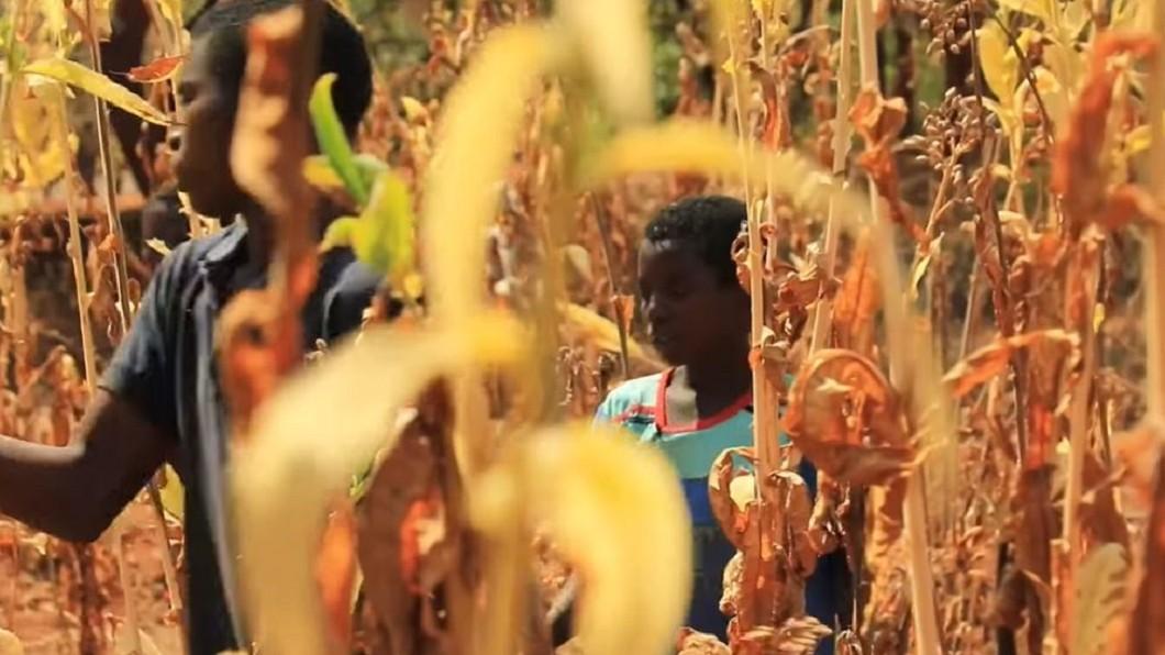 圖/翻攝自FRANCE 24 English YouTube 家庭年收不到臺幣八千 馬拉威菸田童工處境苦