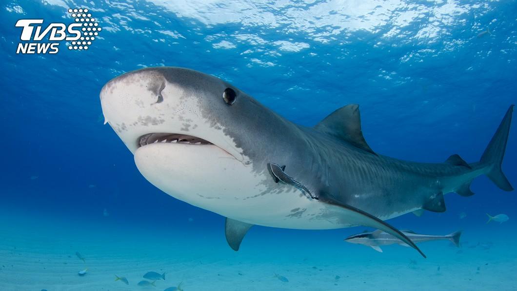 示意圖,非當事鯊魚。圖/TVBS 他浮潛失蹤!鯊魚切肚驚見「戴婚戒斷肢」 妻認戒崩潰
