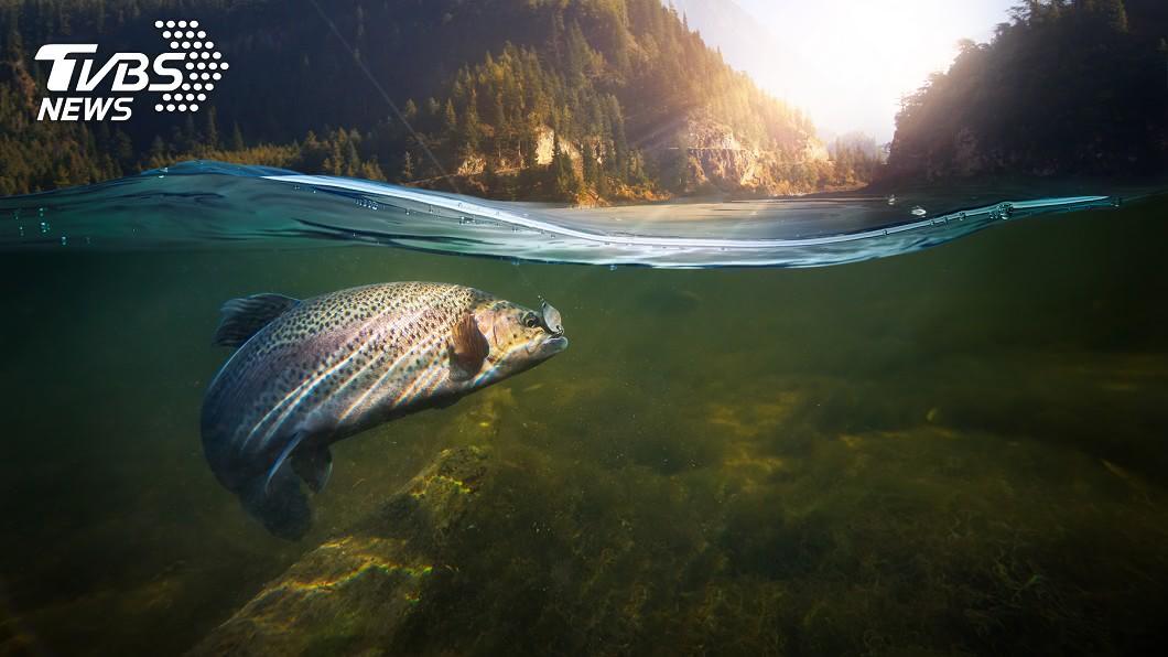 中華鱘有「水中大熊貓」之稱。示意圖/TVBS 漁夫捕獲3公尺怪魚 專家鑑定結果超驚人