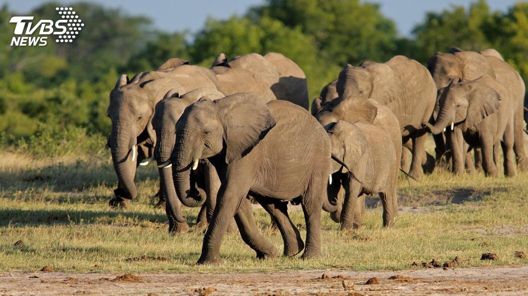 示意圖/TVBS 120頭大象死於乾旱 辛巴威將遷移大批野生動物