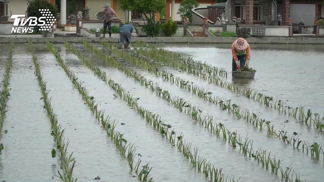(圖/TVBS) 明年一期稻作是否休耕? 王美花:11月底決定