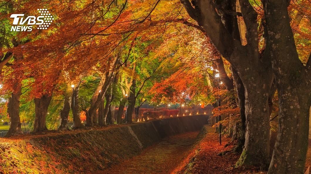 示意圖/TVBS 楓葉紅了!日本季節換裝 賞夜楓大啖和菓子