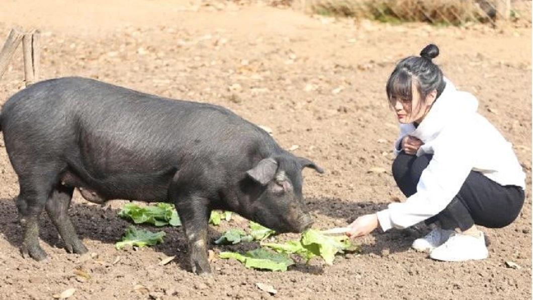 河南1名正妹豬農最近在網路上引發熱烈討論。(圖/翻攝自北京青年報) 24歲正妹豬農還單身 父憂婚事:300頭豬陪嫁