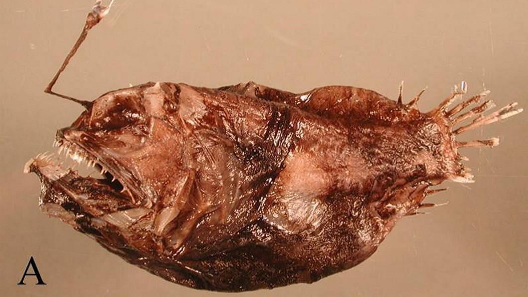 圖/何宣慶提供 讓世界看見台灣! 何宣慶發現新魚種命名「福爾摩沙」