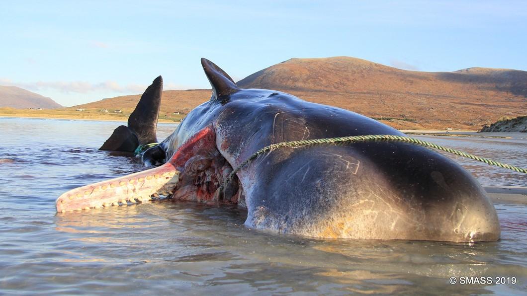 圖/翻攝自Scottish Marine Animal Strandings Scheme臉書 抹香鯨屍擱淺蘇格蘭海灘 100公斤垃圾球塞滿胃