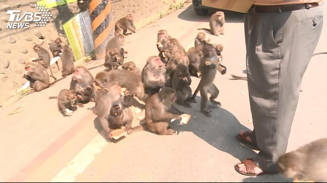 許多農夫辛苦耕種的作物常會遭猴子破壞,讓他們恨得牙癢癢的。(示意圖/TVBS) 奇招!農夫把愛犬畫成老虎 猴子被嚇跑不敢來