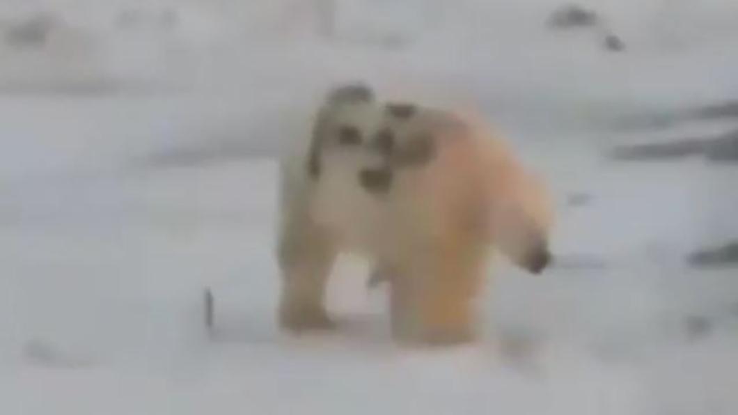 圖/翻攝自Instagram@vesma.today  北極熊遭噴漆寫字 專家警告:恐造成生命危險