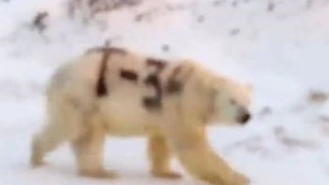 圖/翻攝自FA Technologies臉書 北極熊被噴「T-34」黑漆 動保團體:要命惡作劇
