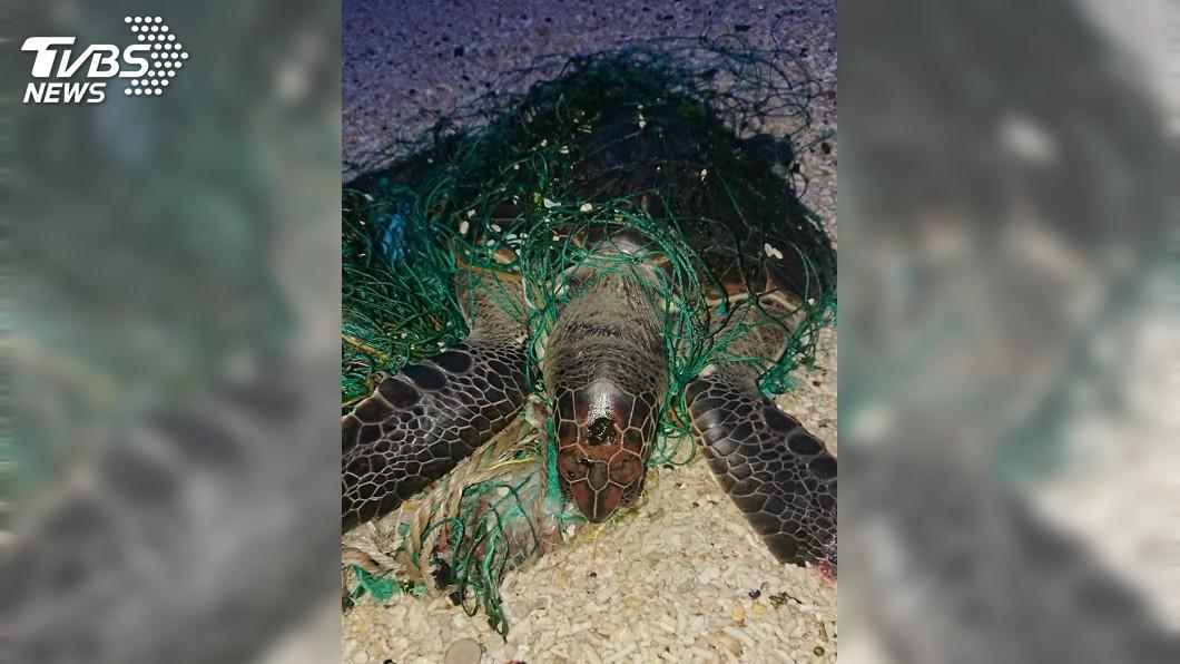 圖/澎湖海巡隊提供 全身遭廢棄漁網纏繞 綠蠵龜受困沙灘險遭活埋