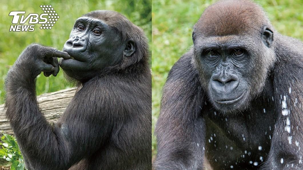 圖/台北市動物園提供 荷蘭金剛猩猩來台 北市動物園辦婚禮