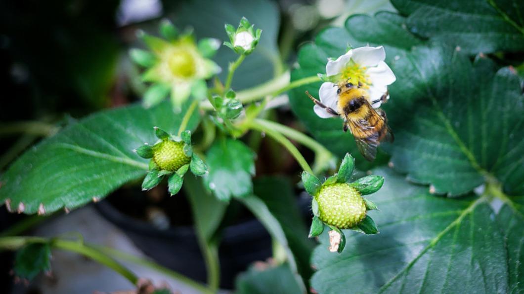 圖/達志影像 蜜蜂消失中!日本試養「採蜜蒼蠅」幫授粉
