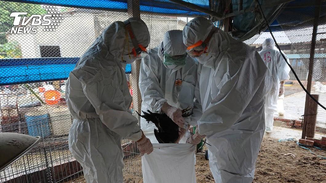 圖/台南市動保處提供 台南新市傳禽流感 撲殺逾8千隻黑羽土雞