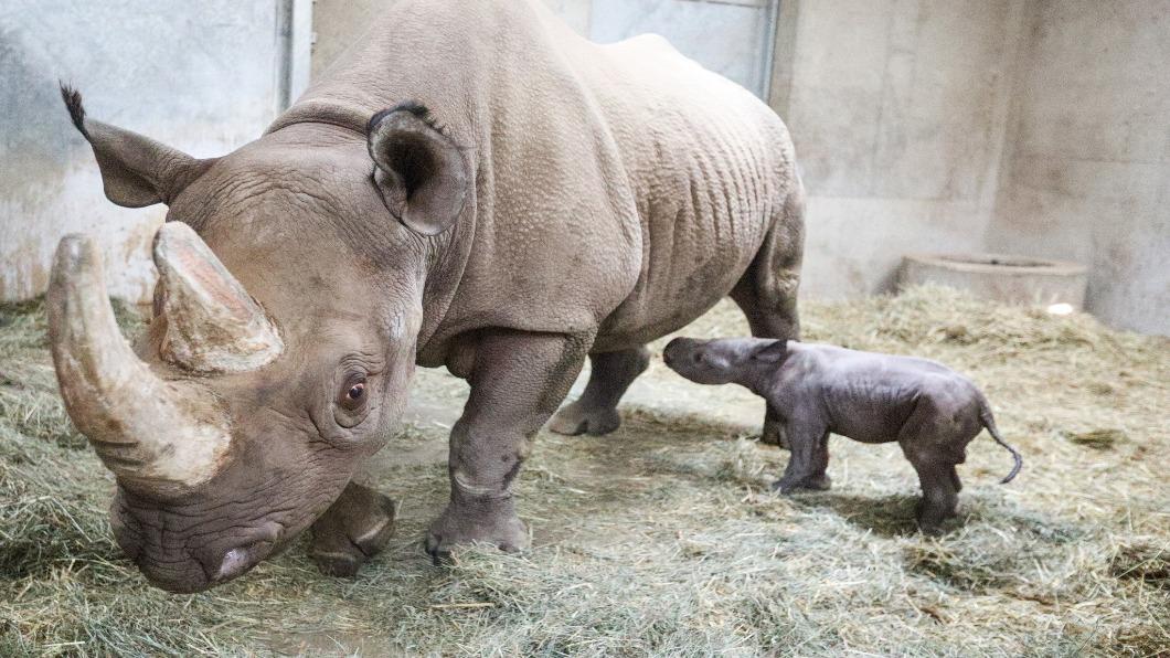 圖/翻攝自 Potter Park Zoo Facebook專頁 盼新生!拚復育白犀胚胎 全球保育努力
