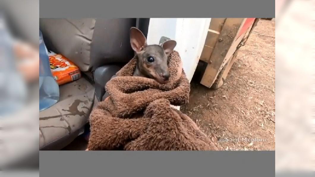 麥克隆趕緊用濕毛巾將小袋鼠包起來 (圖/翻攝自IG sammcglone) 澳洲網紅救家鄉!改當業餘消防 救袋鼠暖喊:兄弟別擔心