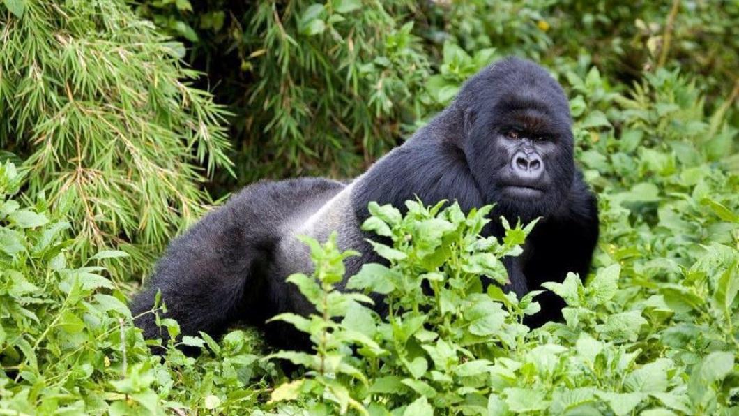根據世界自然基金會資料顯示,全球大約僅剩下1千多隻的野生大猩猩。(圖/翻攝自法國保護大猩猩組織「L'Association Gorilla」臉書粉絲團) 怒!7男盜獵瀕絕種大猩猩 展示「戰利品」燦笑炫耀