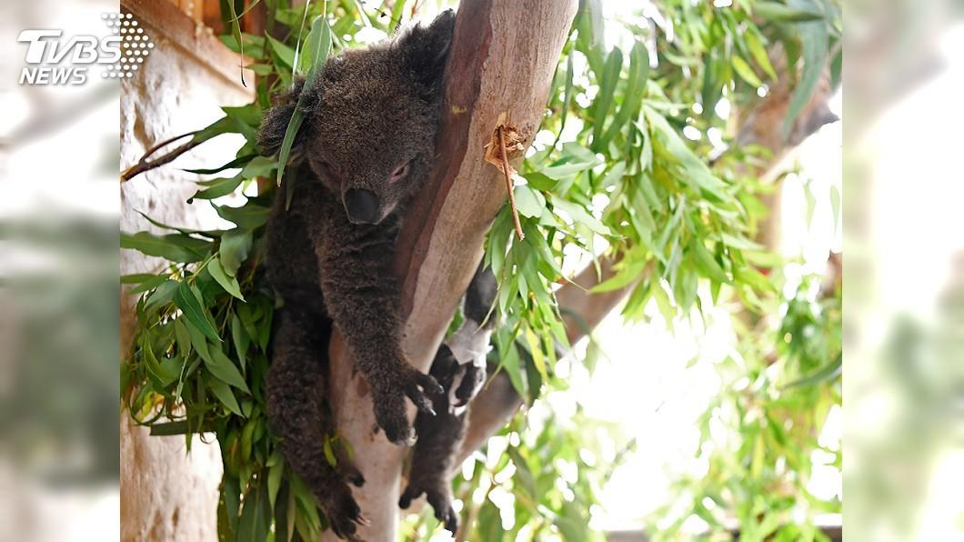 圖/達志影像路透社 野火燒不停… 澳洲國寶無尾熊恐「瀕臨絕種」