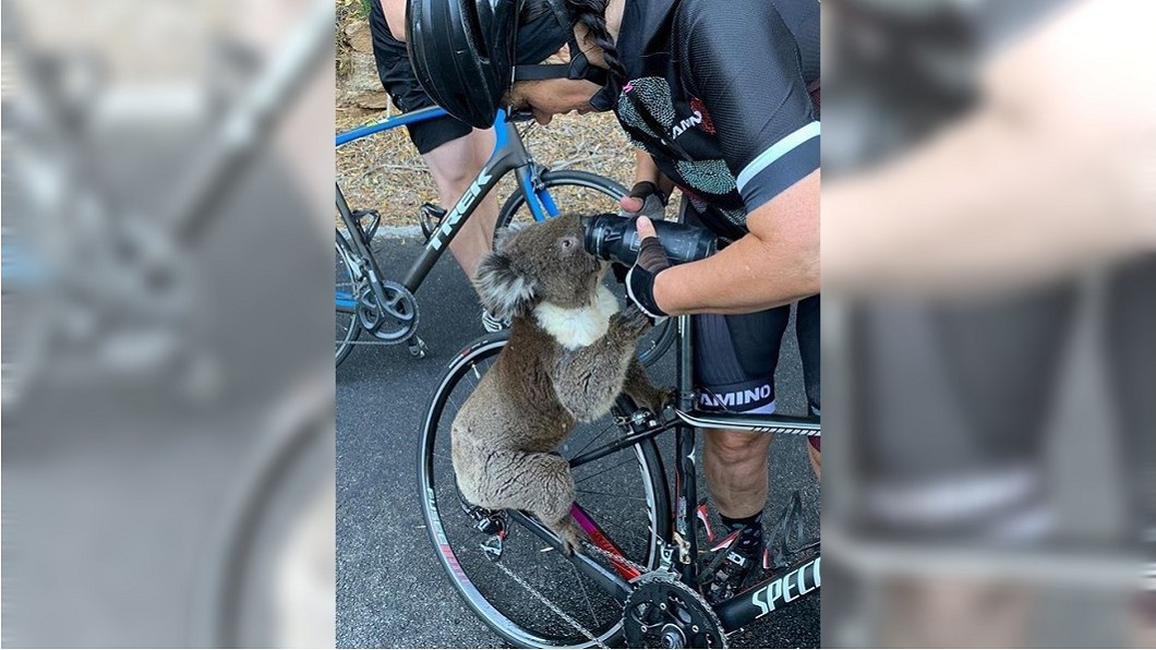 圖/翻攝自bikebug2019 instagram 無尾熊火災生還 卻因好心人「餵水淹死」