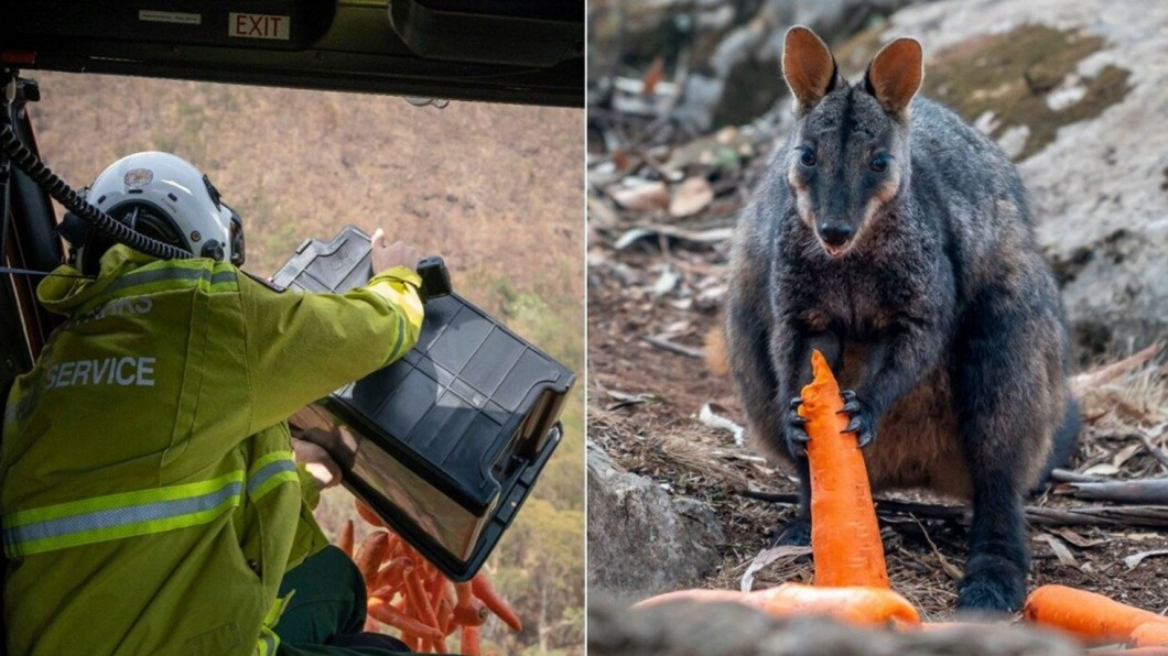 圖/翻攝自Animals and Pets推特 直升機空中灑水滅火 澳洲空投紅蘿蔔救袋鼠