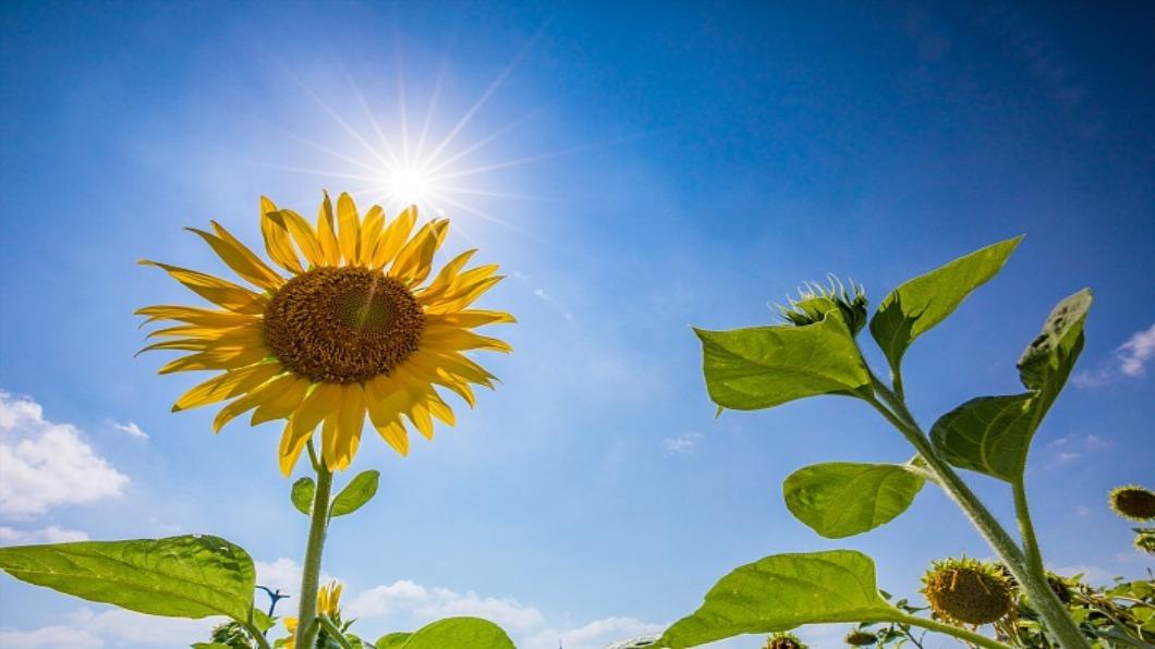 示意圖/達志影像 日本暖冬生態大亂 向日葵開花.雪場關閉