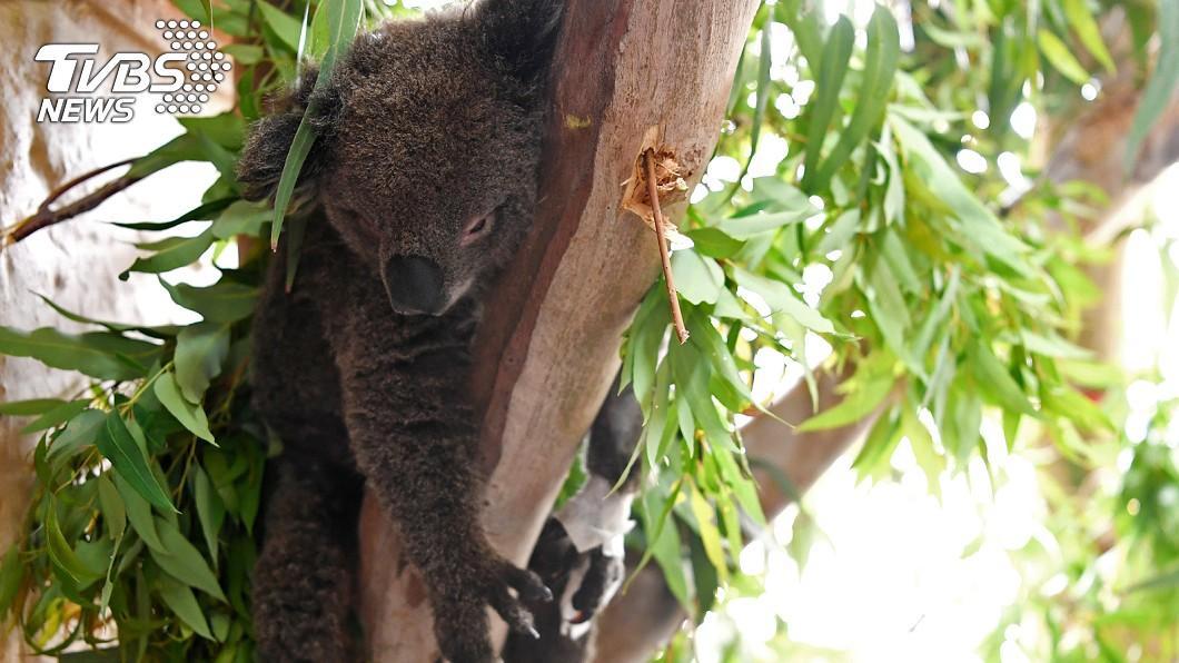 澳洲野火肆虐數月,無尾熊死傷慘重。(圖/達志影像路透社) 搶救燒傷無尾熊!洗衣籃當病床 慘況曝光有洋蔥