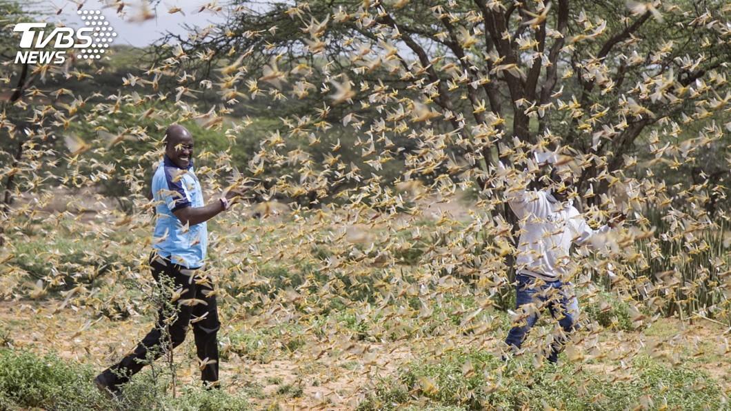 圖/達志影像美聯社 東非爆發25年來最嚴重蝗災 一天損失2500人糧食