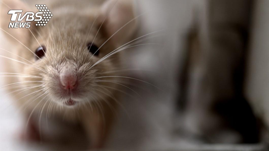 示意圖。(圖/TVBS) 餐廳用餐巨鼠從天而降 她被砸鼻爆血訴:砸到寶寶怎辦