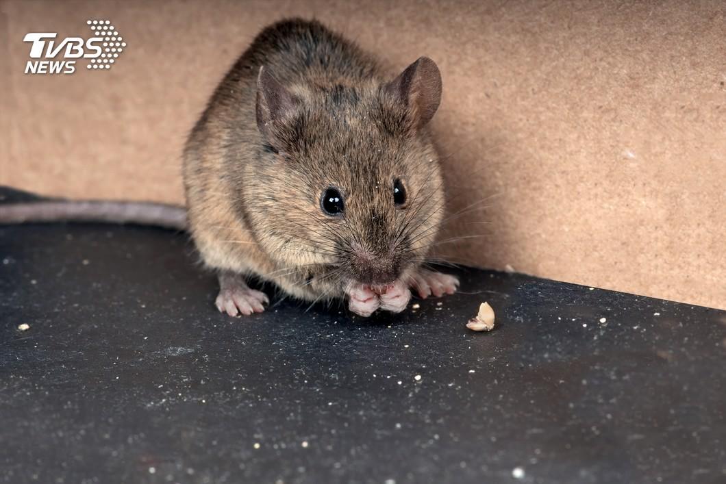 台隆董家見3鼠屍告恐嚇 廟公自清「被鼠咬」