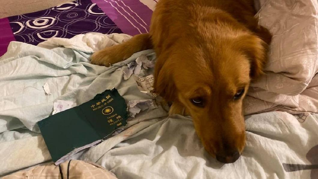 1名部落客原本要到武漢出遊,沒想到行前發現自己的護照被飼養的黃金獵犬咬爛了。(圖/翻攝自「金毛愛旅行の視角」臉書粉絲團) 武漢旅遊前護照被阿金咬爛 主人隔天感謝:謝謝妳保護我