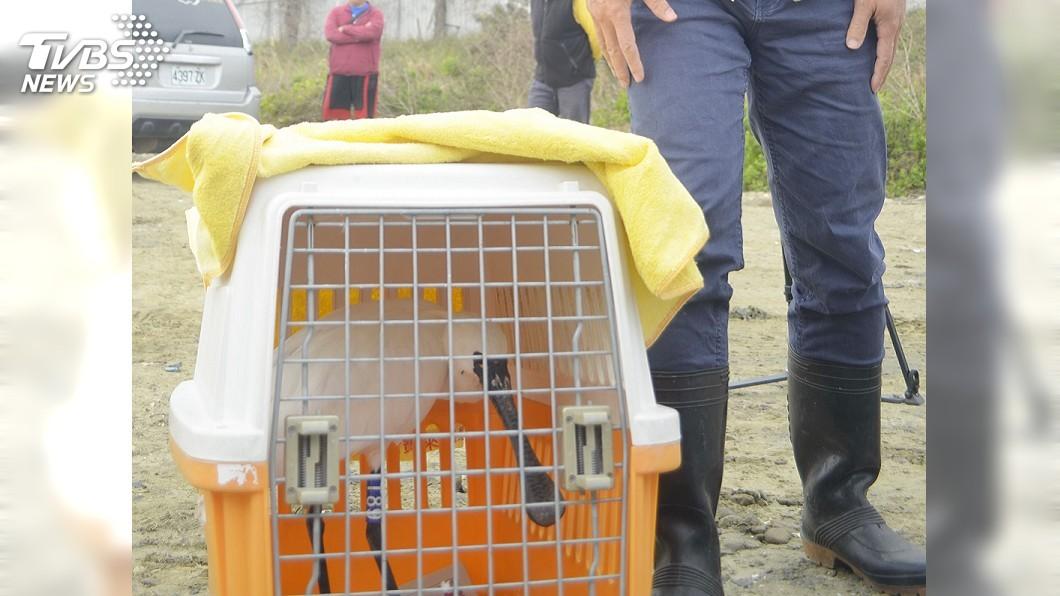 圖/中央社 7中毒黑面琵鷺康復 嘉義布袋濕地野放