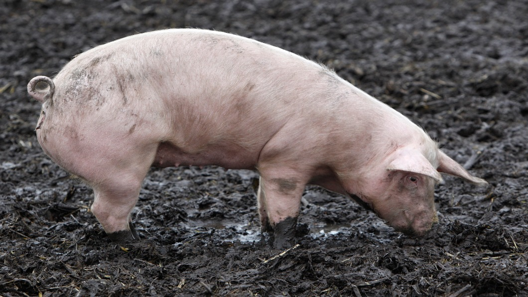 圖/達志影像路透 野豬止步!德國防非洲豬瘟 邊境架通電柵欄