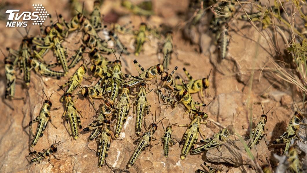 圖/達志影像美聯社 橫掃「非洲之角」地區 蝗蟲大軍入侵烏干達