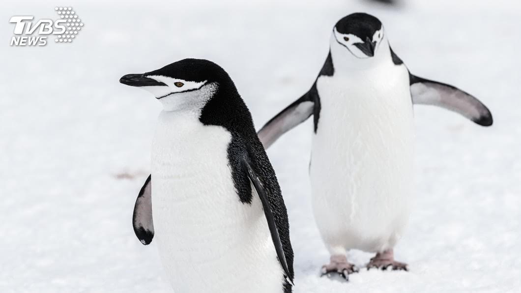 示意圖/TVBS 全球暖化衝擊生態 南極頰帶企鵝50年少77%
