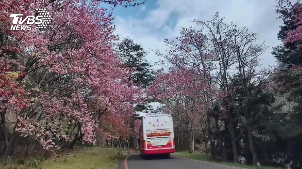 明年春節正好是櫻花盛開的時節,因此武陵賞櫻最受到旅客歡迎。(圖/TVBS資料畫面) 國旅大爆發!過年出遊行程開搶 武陵賞櫻最受歡迎