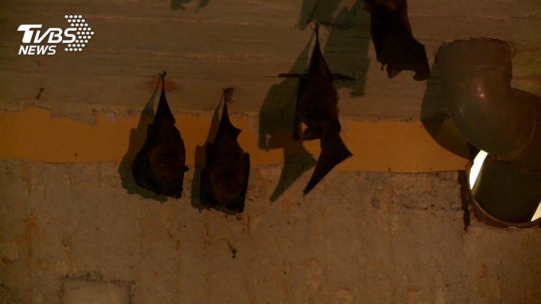 台灣蝙蝠也曾檢出「冠狀病毒」 專家:不會感染人