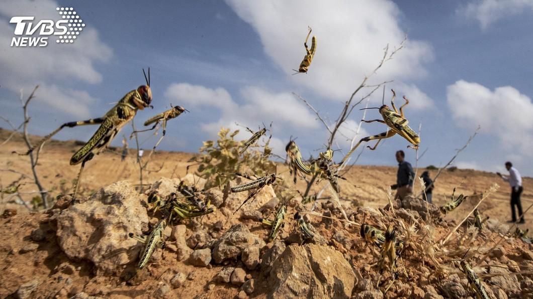 圖/達志影像美聯社 東非蝗災肆虐 上千隻沙漠蝗蟲大軍已攻進南蘇丹