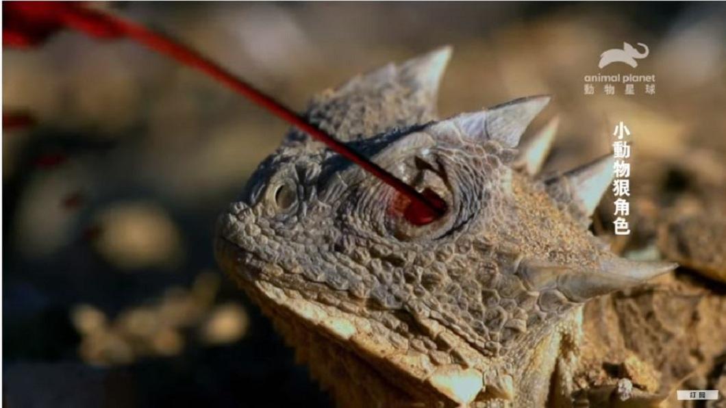 專家發現有「迷你酷斯拉」稱號的大角蜥,牠的眼睛可以噴出毒血防禦掠食者攻擊。(圖/翻攝自動物星球頻道YouTube) 超狠角色!「迷你酷斯拉」遇襲 可噴毒血1.7公尺反制